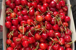 hpttourtravel-panen-buah-cherry-002